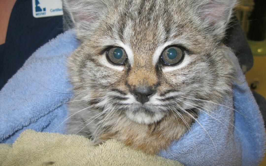 Bobcat Kitten Receives MRI through Partnership with Local Wildlife Rescue Organization