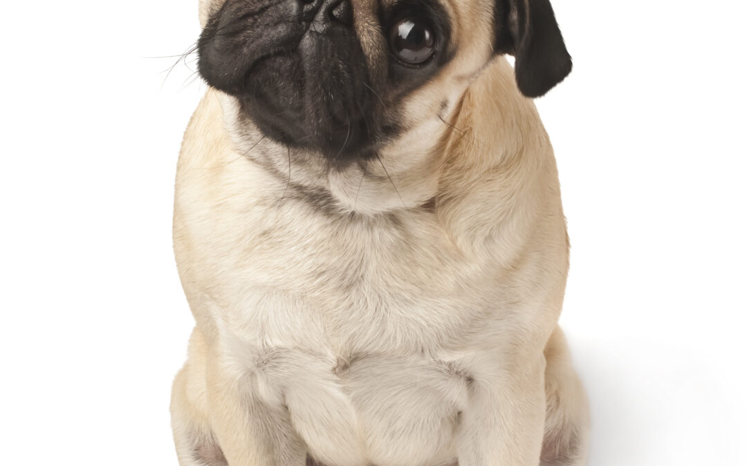 New Research on Dog's Brains Uncover's Emotional Responses, Very Similar to Humans.