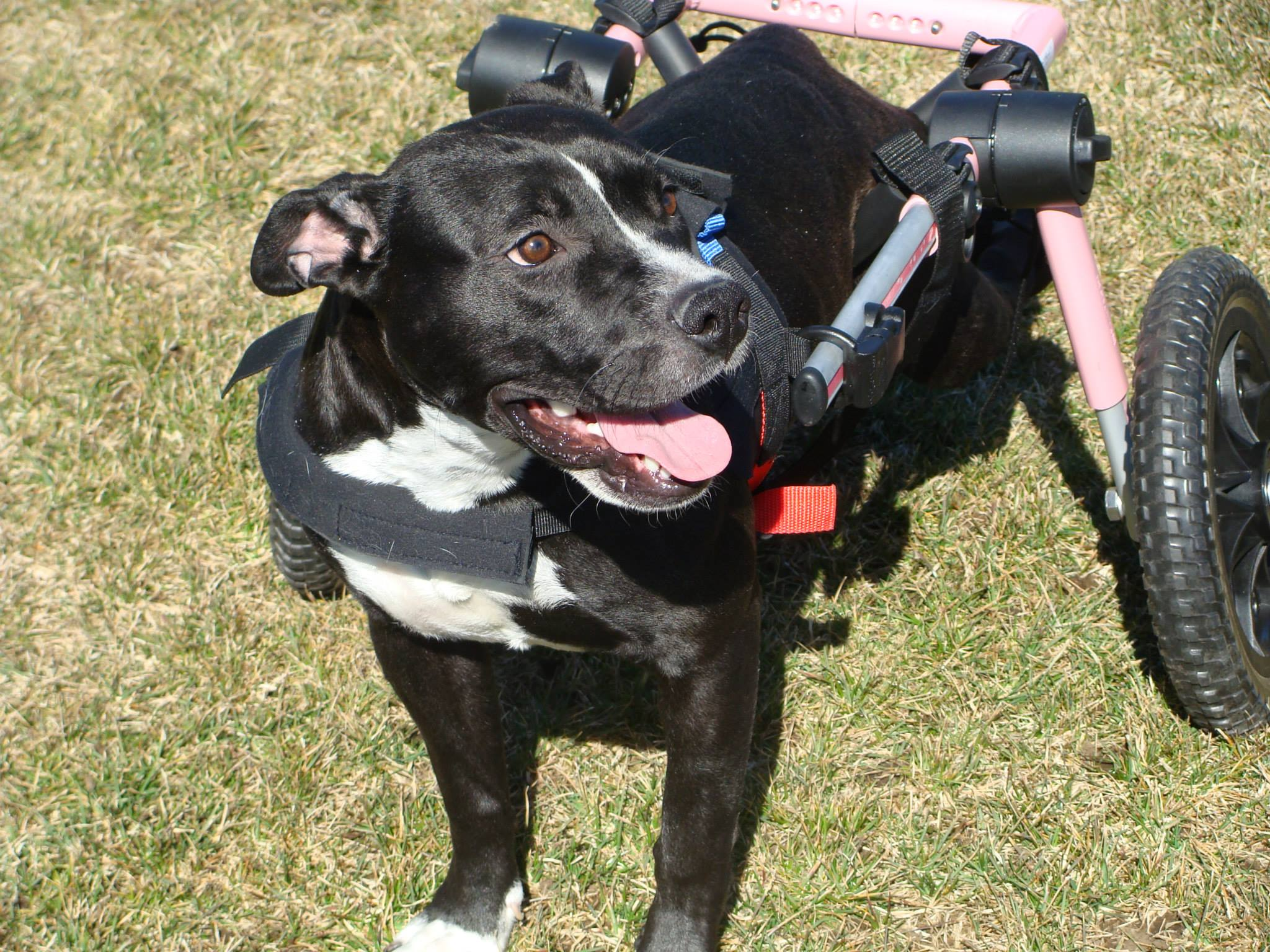 Adoptions of Special Needs Dogs Through Heath's Haven Dogs in Post Falls, Idaho