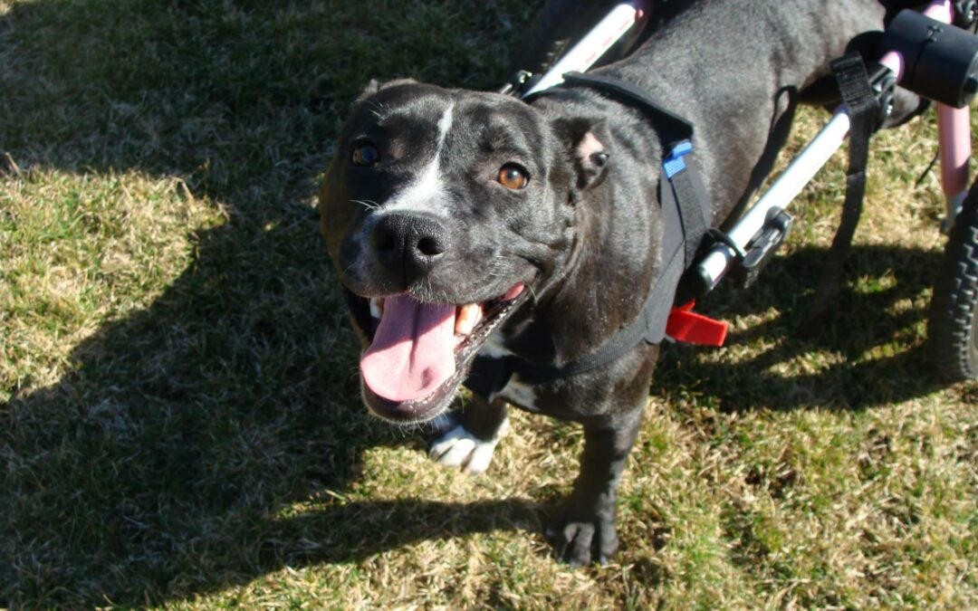 """Meet """"Kiwi""""—Treated at WestVet for Spinal Injuries and Now Eligible for Adoption"""
