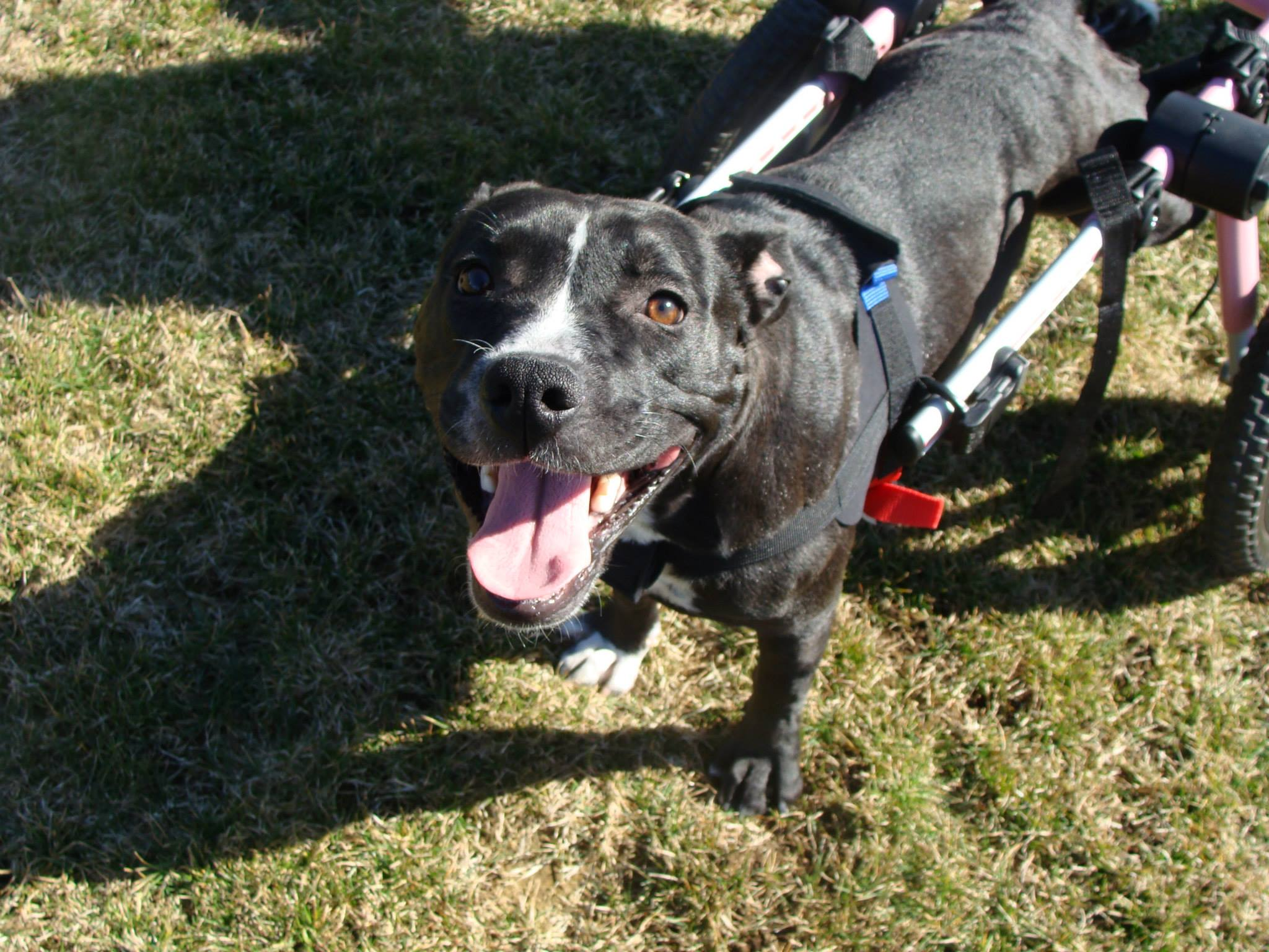 Heat's Haven's Rescue brought Dog to WestVet for Spinal Injuries -- Now available for Adoption.