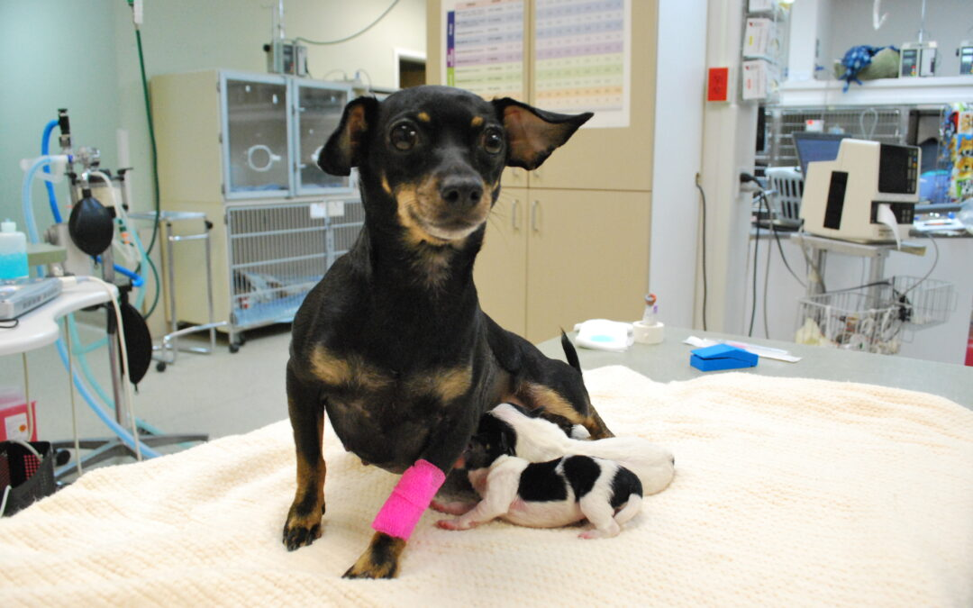 Puppies at WestVet! C-Section Saves Life of Mother and her Newborn Pups