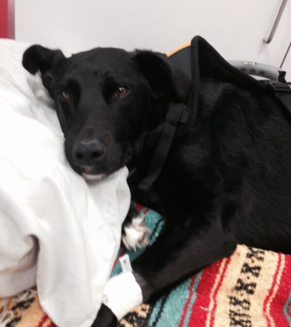 Eagle Dog that escaped House Fire Recovering after successful Surgery at WestVet