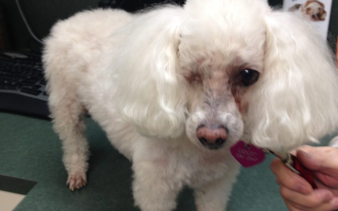 Dr. Breaux and Audrey Pet Foundation Restore Quality of Life to Gidget the Poodle