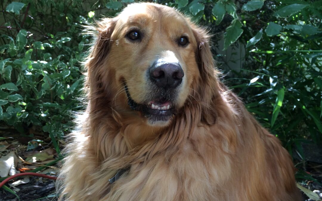 A tribute to Zack, Golden Retriever and Beloved Friend