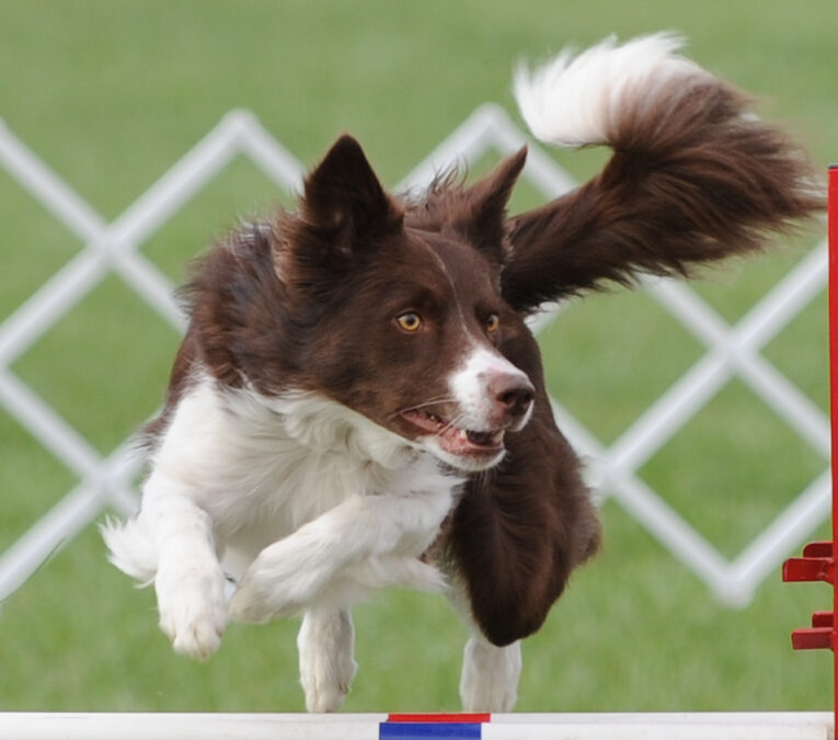 Boise Agility Dog Competing again Following Laser Therapy and Acupuncture at WestVet