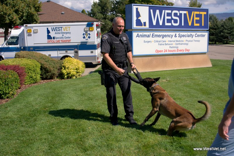 "Treasure Valley Police Dogs Utilize Outpatient Surgery at WestVet to Help Prevent ""Bloat"" or GDV"